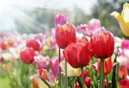 Astucesetpièges à éviter lors de la plantation de tulipes