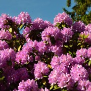 Ce qu'il faut savoir pour cultiver les plus beauxrhododendrons