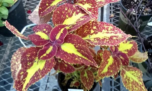 5 conseils utiles pour la culture duPlectranthus