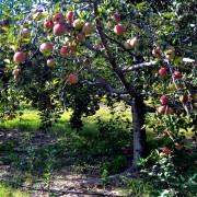 Planter et entretenir un arbre fruitier en 4 étapes
