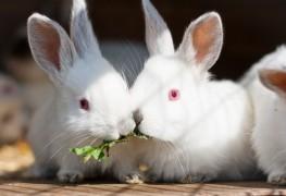Nourriture maison pour gerbilles, lapins et rongeurs de compagnie