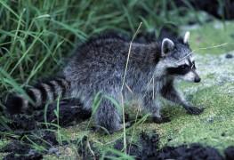 Chasser les cerfs et les ratons laveurs de votre jardin