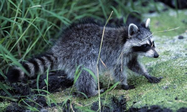 Chasser les cerfs et les ratons laveurs de votrejardin