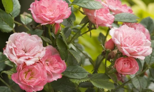 8 types de roses à cultiverdans votre jardin