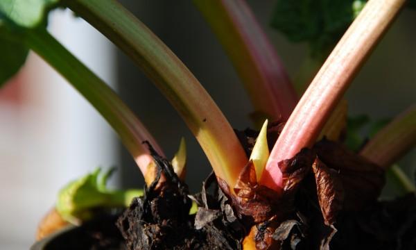 Obtenir de nouveaux arbustes à partir de boutures