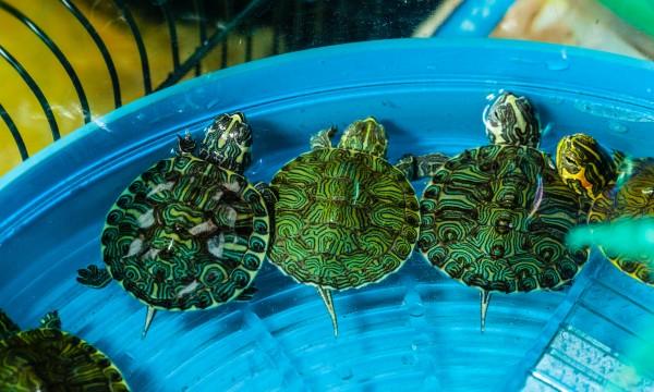 Nourriture maison pour les tortues, les reptiles et les poissons d'aquarium