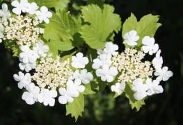 Plantez et entretenez facilement des arbustes viburnums