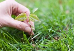 Belle pelouse: méthodes de contrôle des mauvaises herbes rentables