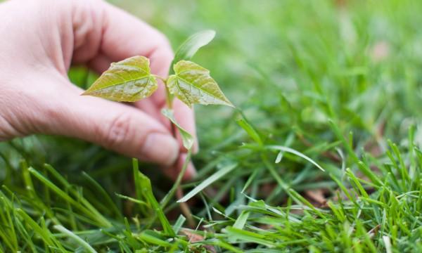 Belle pelouse m thodes de contr le des mauvaises herbes rentables trucs pratiques - Mauvaise herbe pelouse ...