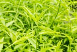 Comment éliminerles mauvaises herbes graminées annuelles